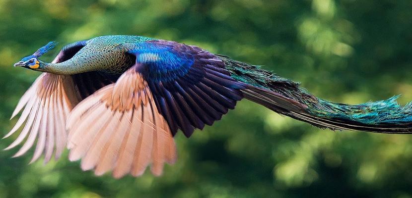 الطاووس  .. ملك الطيور محلقا