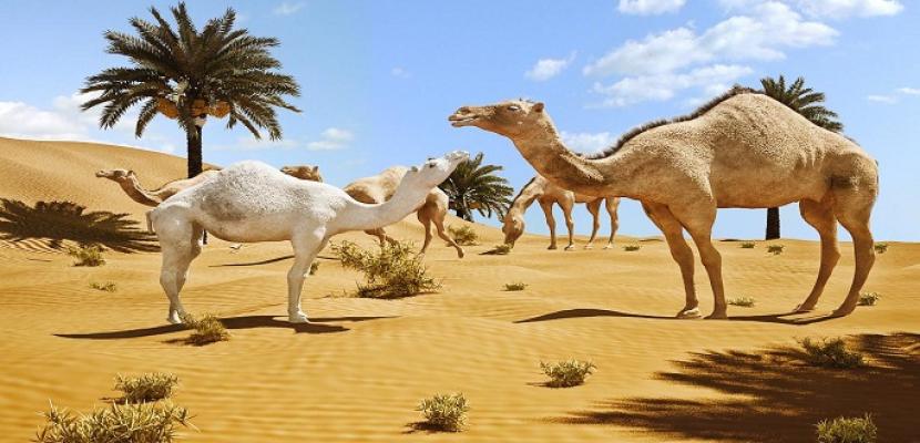 جمال الصحراء