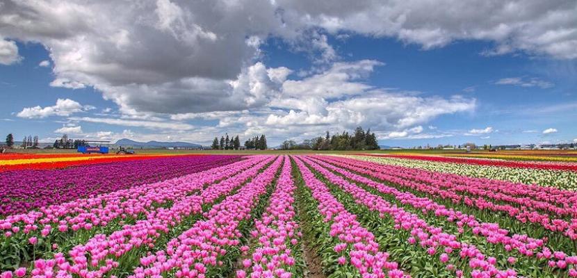 حقول هولندا البنفسجية .. لوحات بديعة وجمال مذهل