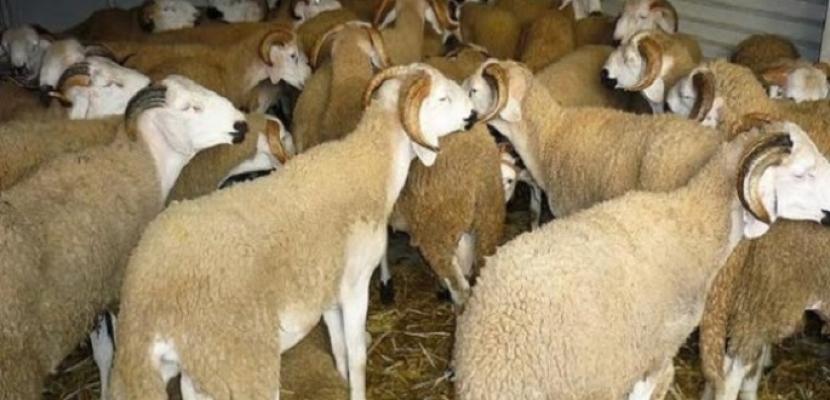 وزارة الزراعة توافق على استيراد سلالات مميزة من الأغنام والماعز