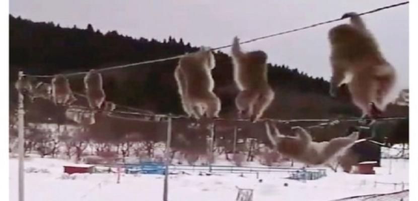 """قردة على كابل كهربائي وسط الثلوج تشغل """"تويتر"""""""