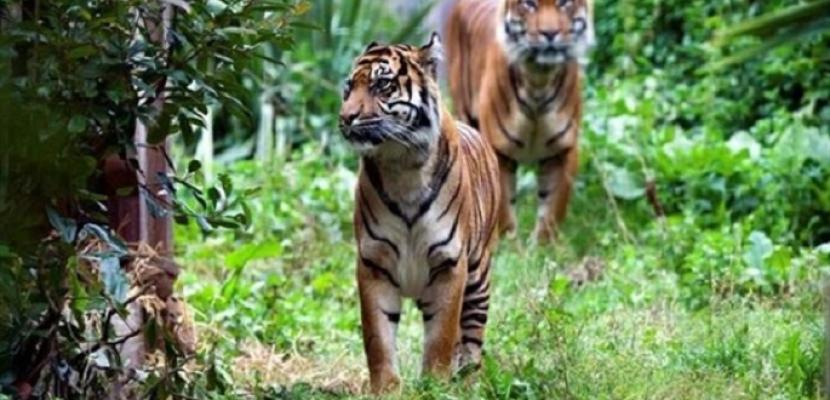 نمر يقتل زوجته في لقائهما العاطفي الأول بحديقة حيوان لندن