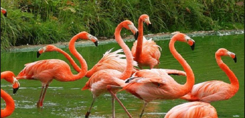 إنقاذ 3000 طائر فلامنجو بسبب جفاف مياه سد بجنوب إفريقيا