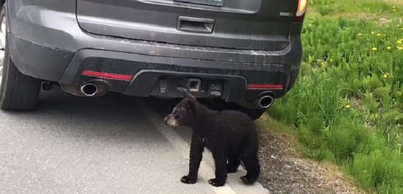 دببة تعبر الطريق وتوقف حركة المرور بألاسكا