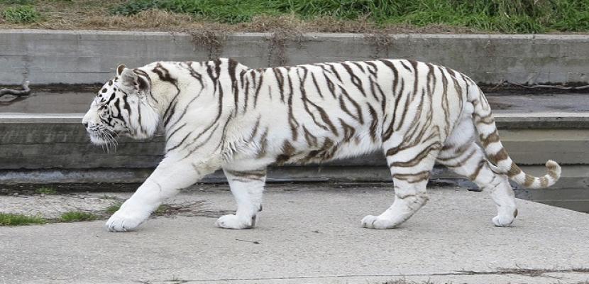نمر أبيض وحيوانات مهددة بالانقراض في منزل بفرنسا