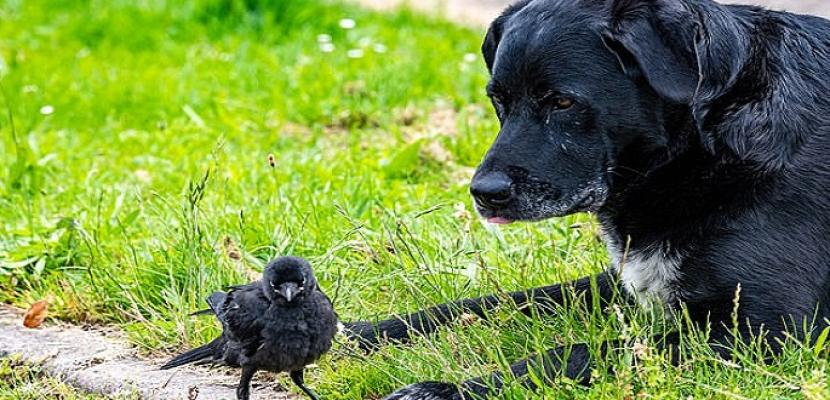 صداقة غريبة .. كلب ينقذ غراب وتمتد الصداقة إلى العيش معا