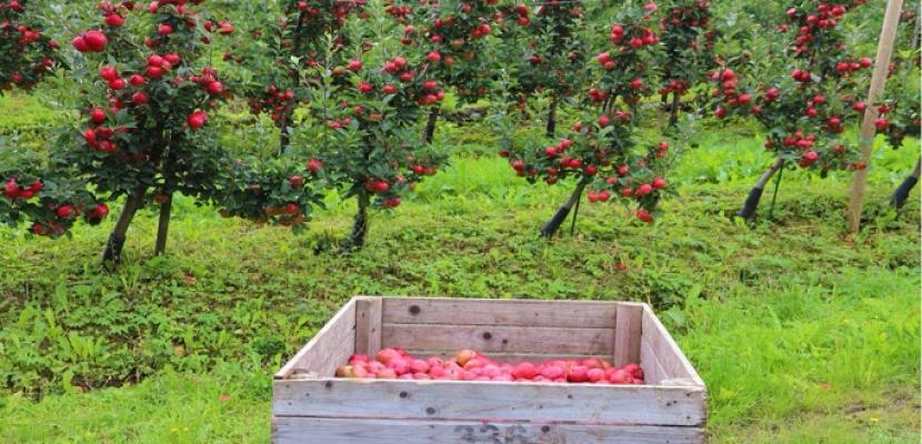 تفاح النرويج نضج قبل الأوان بسبب تغير المناخ