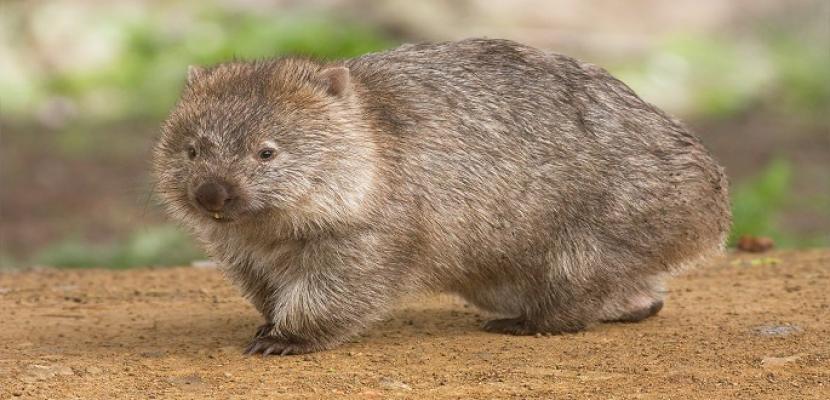 الغضب يجتاح أستراليا بعد تصوير ضابط يقذف حيوان الومبت بالحجارة