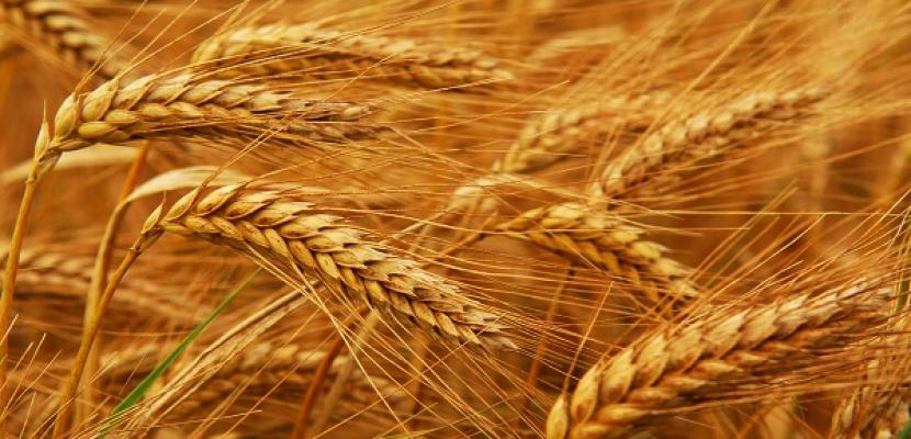 وزير الزراعة : نتوقع اكتفاء ذاتيا من القمح عام 2019