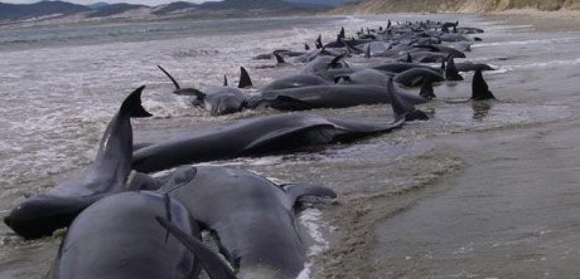 محاولات لإنقاذ 13 حوت طائر جنحوا علي شواطئ نيوزيلندا