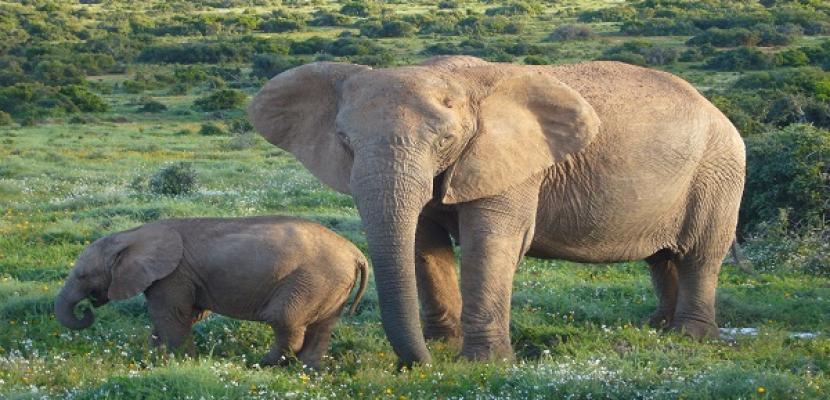 دراسة: الأفيال يمكنها استشعار الخطر من أصوات البشر