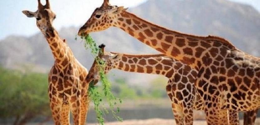 حديقة حيوان الجيزة تستقبل 3 زرافات من جنوب أفريقيا خلال أيام