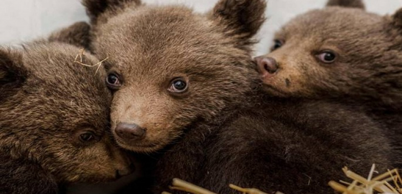 حملة لجمع التبرعات لإنقاذ ثلاثة دببة يتامى في روسيا