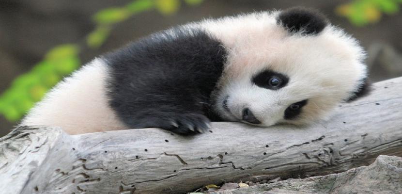 """ولادة أول باندا هذا العام بالصين تزن """"170"""" جراما"""