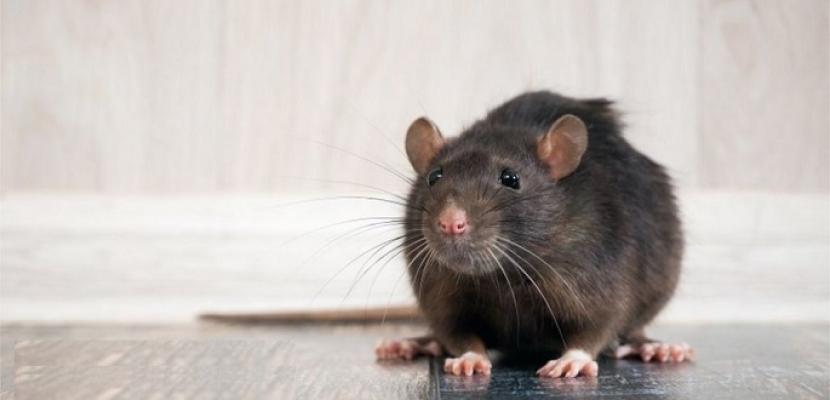 الفئران تهاجم منازل البريطانيين .. بسبب الكورونا ؟!