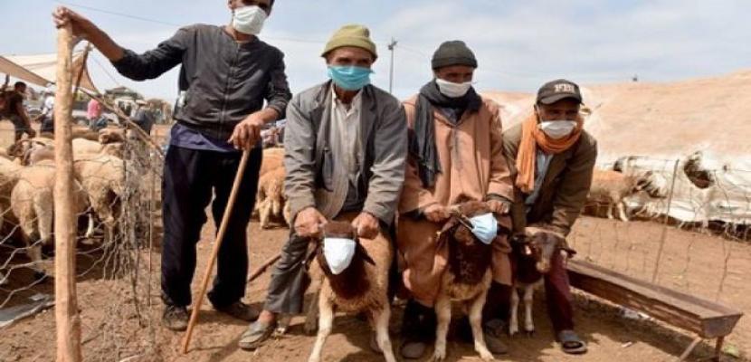 خراف العيد ترتدى الكمامة احترازيا فى أسواق المغرب