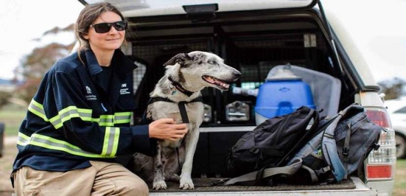 كلب ينقذ 100 دب كوالا من حرائق الغابات فى أستراليا