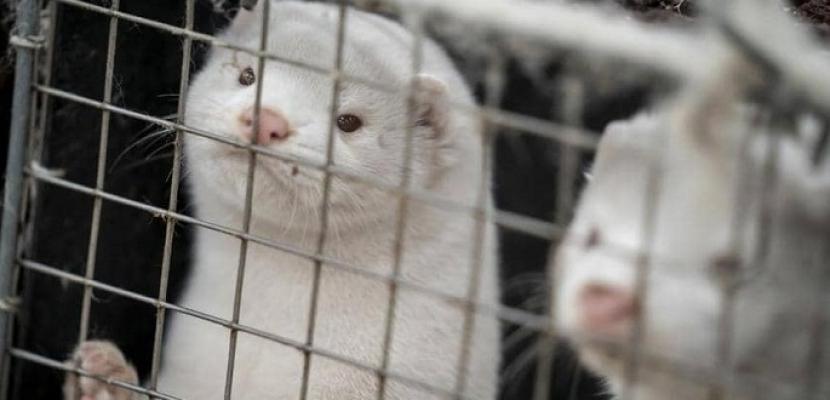 فرنسا ترصد فيروس كورونا في إحدى مزارع المنك للمرة الأولى
