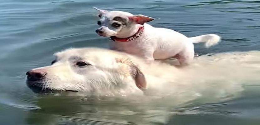 كلب يحمل آخر على ظهره للسباحة فى بحيرة