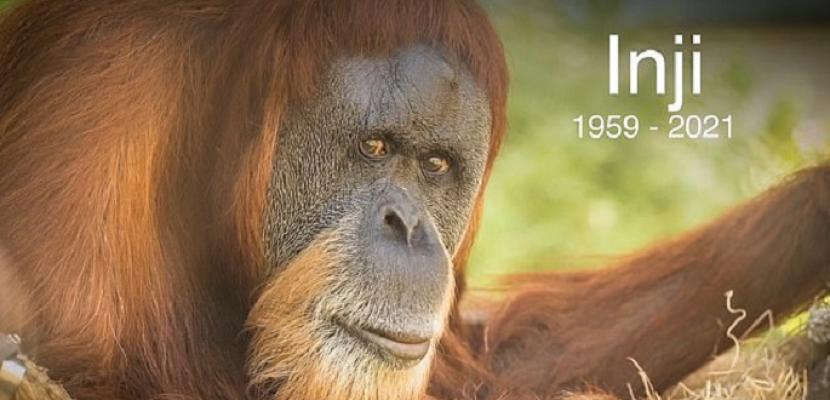 """نفوق """"إنجي"""" أكبر إنسان غاب في العالم عن عمر 61 عاما"""