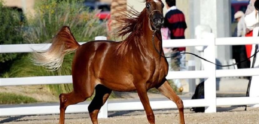 محافظ البحيرة يفتتح مهرجان الخيول العربية الأصيلة الرابع عشر