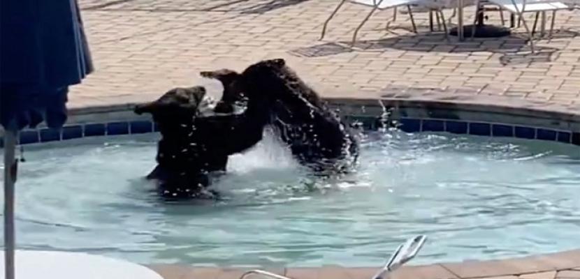 دببة تقتحم شاليه صيفى وتستولى على حمام السباحة وملاعب التنس