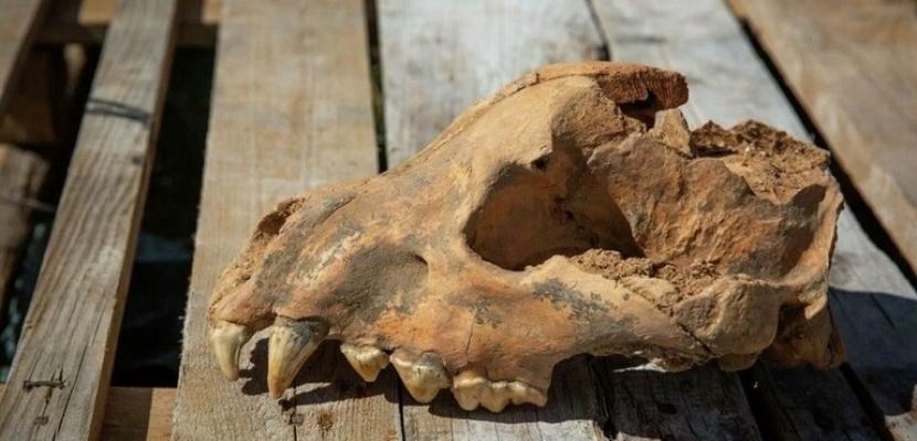 اكتشاف جمجمة ضبع أحفوري عملاق في كهف تافريدا في روسيا